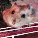 Hammy Information icon
