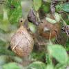 Black and Yellow Garden Spider (Egg Sack)