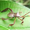 Chinche,  Leaf footed Bug