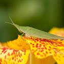 slant faced grasshopper