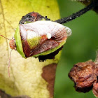 Green and Brown Stink Bug