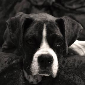 by Alfredo Gonzalez - Animals - Dogs Portraits (  )