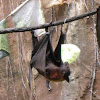 Malayan Flying Fox Bat