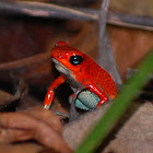 Granulated Poison Dart Frog