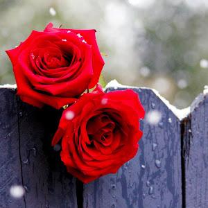 rose without logo.jpg
