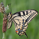 Swallowtail or Old World Swallowtail