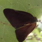 Ricaniid Planthoppers