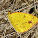 Little Yellow Butterfly
