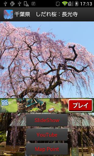 千葉県 しだれ桜:長光寺 JP122