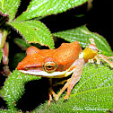 Saddled Tree frog