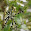 Banded orb weaver spider