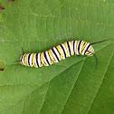 Monarch Butterfly Larva