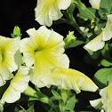 Yellow and White Petunias