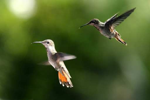 Trinidad-Tobago-hummingbirds - Hummingbirds in Trinidad and Tobago.