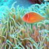 Pinks Anemone fish