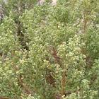 Coyote bush