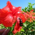 Common Blister Beetle, Orange Blister