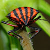 Italian Striped-Bug, Chinche rayada