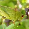 katydids crickets. Grillo