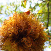 Rose bedeguar gall (on Rosa Canina)