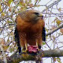 Red Shouldered Hawk (protecting it's meal)