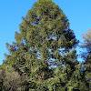 Bunya Pines