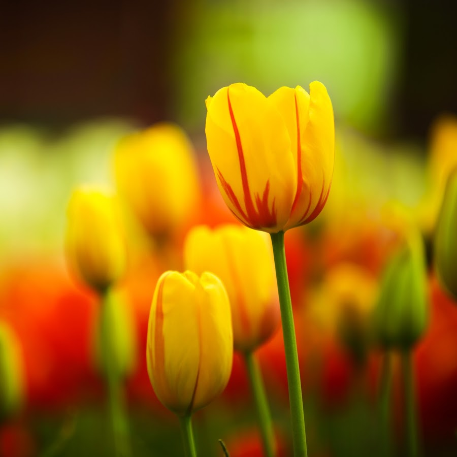Yellow sunshine valentine tulips by Marjorie Speiser - Flowers Flower Gardens ( plant, moods, colorful, vibrant, yellow, beauty, space, valentine, spring, blossom, macro, inspiration, nature, january, sunny, happy, emotions, pink, head, closeup, flower, petal, green, happiness, sunlight, spring colorful flowers, easter, red, color, holland, background, tulip, freshness, day, stem, mood factory )