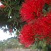 NZ Pōhutukawa tree
