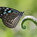 Blue Glassy Tiger