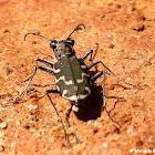 Common shore tiger beetle