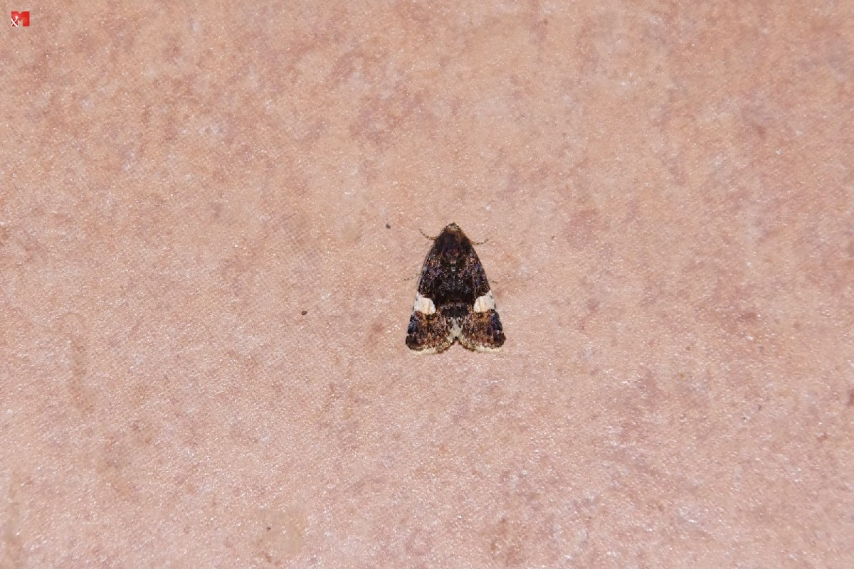Four-spotted moth