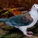 Grey Imperial Pigeon .