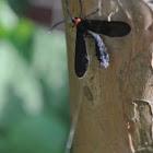 Grape-leaf Skeletonizer Moth