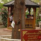 Pallas's squirre