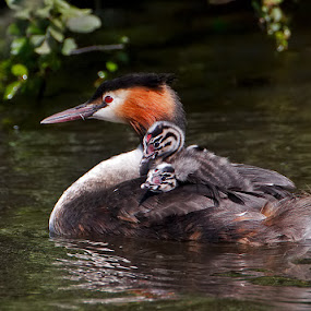 Great Crested Grebe with Chicks by Derek Lees - Animals Birds ( bird, grebe, uk, great crested grebe, chicks, chasewater )