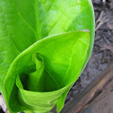 Young Skunk Cabbage