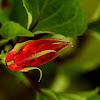 Salvia red/ scarlet sage/ tropical sage