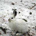 Snoeshoe Hare