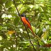 Scarlet Minivet - Male