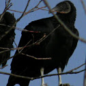 (American) black vulture