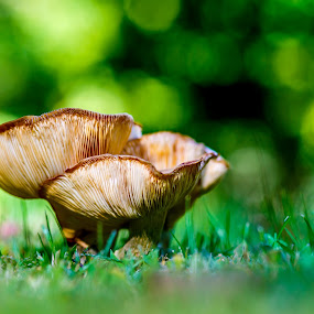 Mushroom by Olga Gerik - Nature Up Close Mushrooms & Fungi ( big mushroom,  )