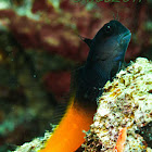 Flame tail blenny
