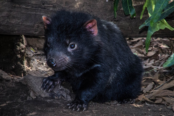 Tasmanian Devil and imps | Project Noah