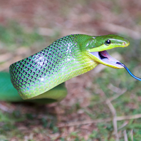 red-tailed green ratsnake (Gonyosoma Oxycephalum) 3 by Lindra Hismanto - Animals Reptiles ( red-tailed, green ratsnake, images, gonyosoma, oxycephalum )