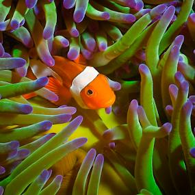 Western Clown Fish by Richard ten Brinke - Animals Fish ( sea creatures, underwater life, ocean life )