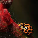 Large Spotted Ladybird