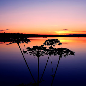 Only for you by Erika Lorde - Landscapes Sunsets & Sunrises ( angelica, sweden, nature, norrland, colors, sunset, beautiful, summer, intense, landscape, photography, flower )
