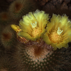 Cactus flower by Victor Queiroz - Flowers Single Flower