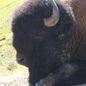 Plains Buffallo