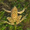 Iberian parsley frog,Sapillo Moteado Ibérico